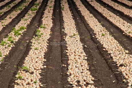 タマネギ畑の写真素材 [FYI02994905]