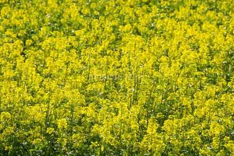ナノハナ畑の写真素材 [FYI02994915]