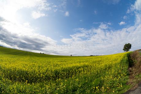 ナノハナ畑の写真素材 [FYI02994916]