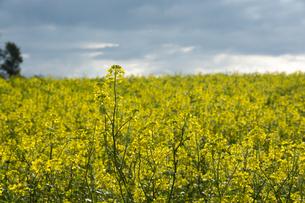 ナノハナ畑の写真素材 [FYI02994917]