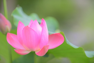 蓮と葉の写真素材 [FYI02994923]
