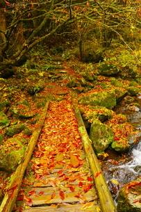 登山道の渓流に架かる落ち葉に覆われた木橋の写真素材 [FYI02994954]