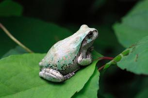 白く変化したニホンアマガエルの写真素材 [FYI02995013]