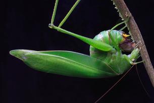 植物の茎に産卵するサトクダマキモドキの写真素材 [FYI02995014]
