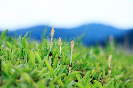 山並みを背景に顔を出したツクシの写真素材 [FYI02995019]
