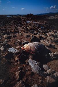 磯で息絶えたアカウミガメの写真素材 [FYI02995020]