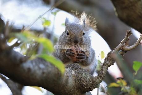 クルミを食べるニホンリスの写真素材 [FYI02995119]