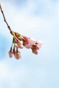 桜の蕾と青空の写真素材 [FYI02995133]