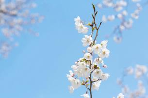 桜と青空の写真素材 [FYI02995134]