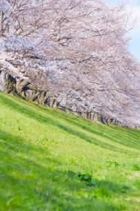 桜並木と原っぱの写真素材 [FYI02995141]