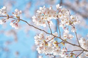 青空と咲いた桜の花の写真素材 [FYI02995156]