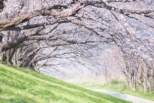 桜並木と土手の芝の写真素材 [FYI02995183]