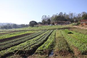 サンパウロ近郊の野菜畑の写真素材 [FYI02995225]