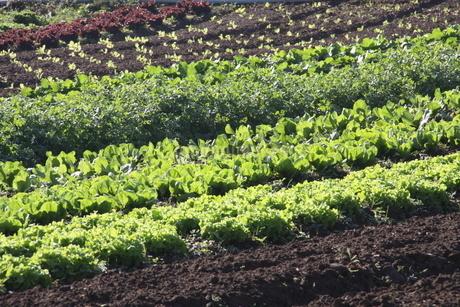 サンパウロ近郊で栽培されているレタスの写真素材 [FYI02995227]