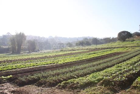 サンパウロ近郊の野菜畑の写真素材 [FYI02995228]