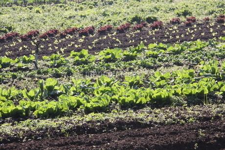サンパウロ近郊で栽培されているレタスの写真素材 [FYI02995229]