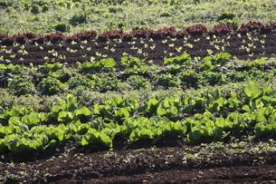 サンパウロ近郊で栽培されているレタスの写真素材 [FYI02995230]