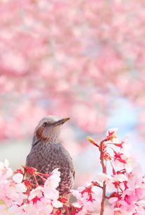 桜(サツマベニ)とヒヨドリの写真素材 [FYI02995508]