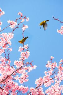 桜(サツマベニ)と二羽のメジロの写真素材 [FYI02995521]