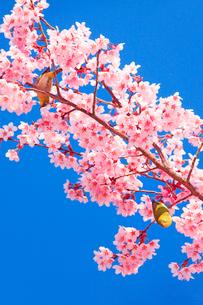 桜(サツマベニ)と二羽のメジロの写真素材 [FYI02995523]