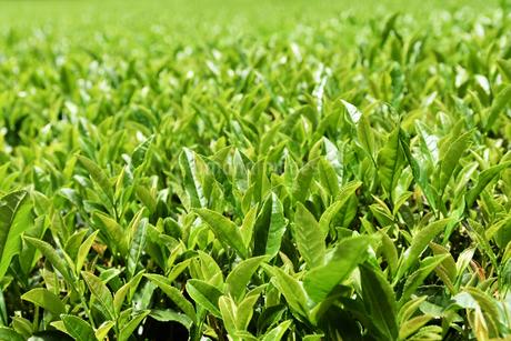 夏の茶畑の写真素材 [FYI02995572]