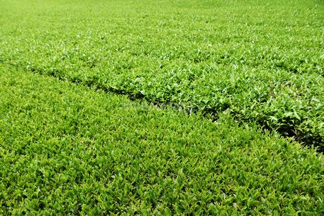 夏の茶畑の写真素材 [FYI02995574]