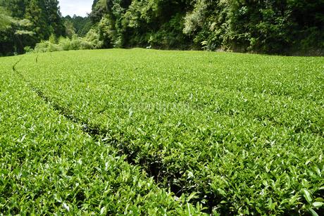 夏の茶畑の写真素材 [FYI02995577]