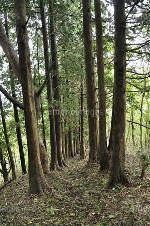 杉林の山道の写真素材 [FYI02995668]
