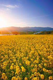 菜の花公園と千曲川と夕方の光の写真素材 [FYI02995737]