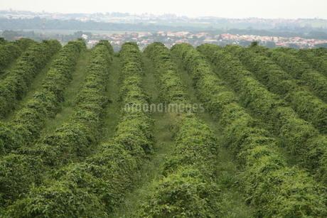 サンパウロ州にあるコーヒー農園の写真素材 [FYI02995802]