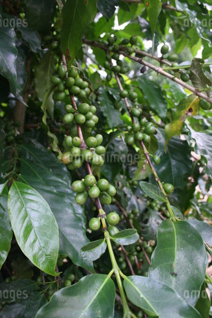 サンパウロ州で栽培されているコーヒーの写真素材 [FYI02995805]