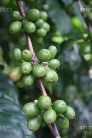 サンパウロ州で栽培されているコーヒーの写真素材 [FYI02995817]