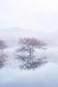 朝霧の小田代ヶ原湖面に映す山並みと紅葉のコナシの樹の写真素材 [FYI02995831]