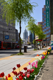 新潟市古町通り柾谷小路を走行するBRT連節バスとチューリップの写真素材 [FYI02996003]