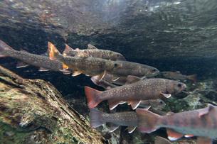 川魚の群れの写真素材 [FYI02996007]