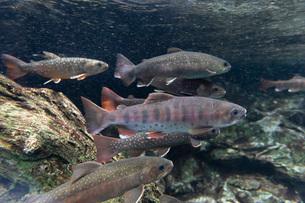 川魚の群れの写真素材 [FYI02996011]