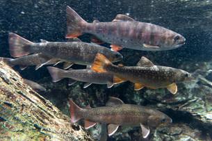 川魚の群れの写真素材 [FYI02996013]