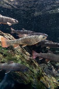 川魚の群れの写真素材 [FYI02996015]