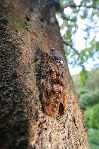 巨木に止まるセミの写真素材 [FYI02996266]