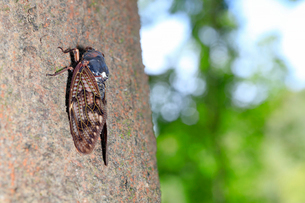 巨木に止まるセミの写真素材 [FYI02996267]