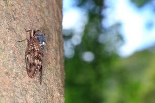 巨木に止まるセミの写真素材 [FYI02996269]