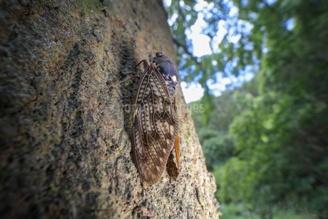 巨木に止まるセミの写真素材 [FYI02996270]