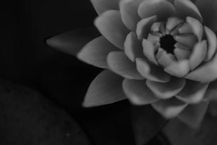 モノクロ スイレン写真の写真素材 [FYI02996280]