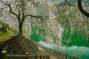枝垂桜の写真素材 [FYI02996286]