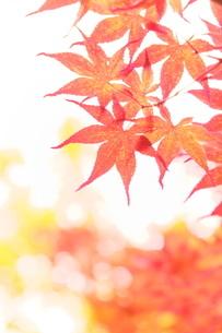 もみじの写真の写真素材 [FYI02996356]
