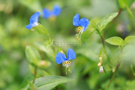 庭に咲いたツユクサの写真素材 [FYI02996366]