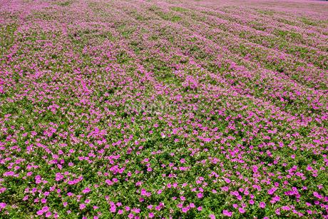 ペチュニアの花畑の写真素材 [FYI02996470]