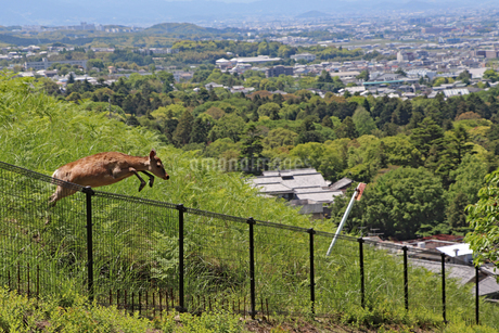柵を跳び越える若草山の鹿の写真素材 [FYI02996883]