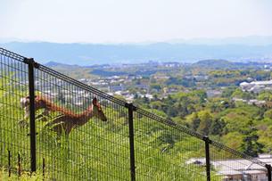 若草山の野生鹿の写真素材 [FYI02996885]