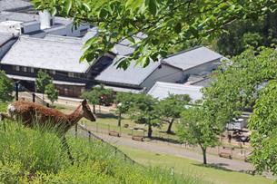 野生の鹿が飛び出したの写真素材 [FYI02996886]